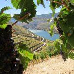 uvas e vinhas no douro