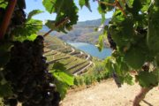 grapes and vineyards at douro valley