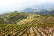 vineyards at a Port Wine Estate